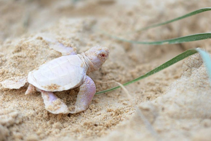 Meet Alby: The Rare Albino Turtle