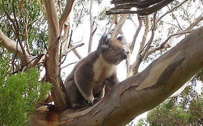 Koalas in Our Biosphere Need Protection